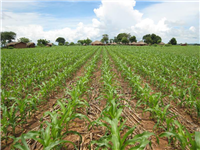 CA weed free maize at 4 weeks with crop residues